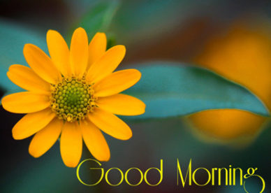 Yellow Flower Gud Morning Pictures For Whatsapp And Facebook