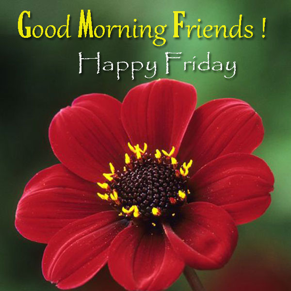 Good Morning Friends Beautiful Red Flower Happy Friday Images - Good Morning Images, Quotes, Wishes, Messages, greetings & eCards