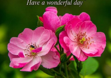 Good Morning Have A Wonderful Day Rose Flower Images - Good Morning Images, Quotes, Wishes, Messages, greetings & eCards