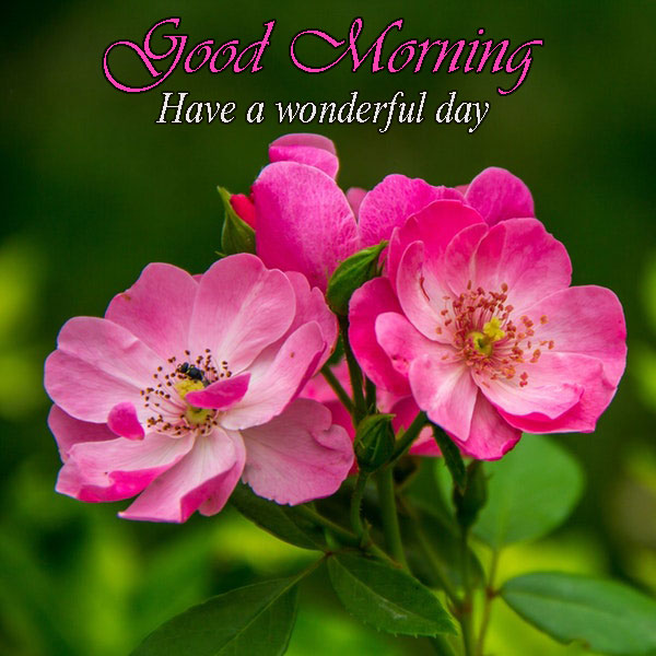 Good Morning Have A Wonderful Day Rose Flower Images Good Morning Images Quotes Wishes Messages Greetings
