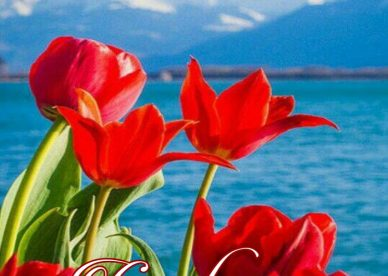Good Afternoon With Red Rose - Good Morning Images, Quotes, Wishes, Messages, greetings & eCard Images