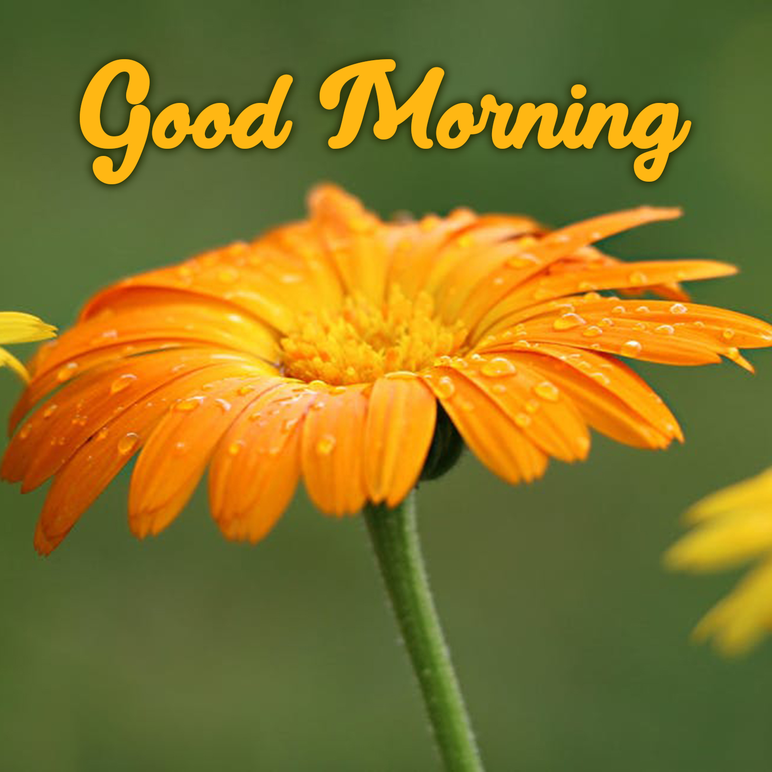 Download And Share Amazing Good Morning Flowers Images Good Morning Images Quotes Wishes Messages Greetings Ecards