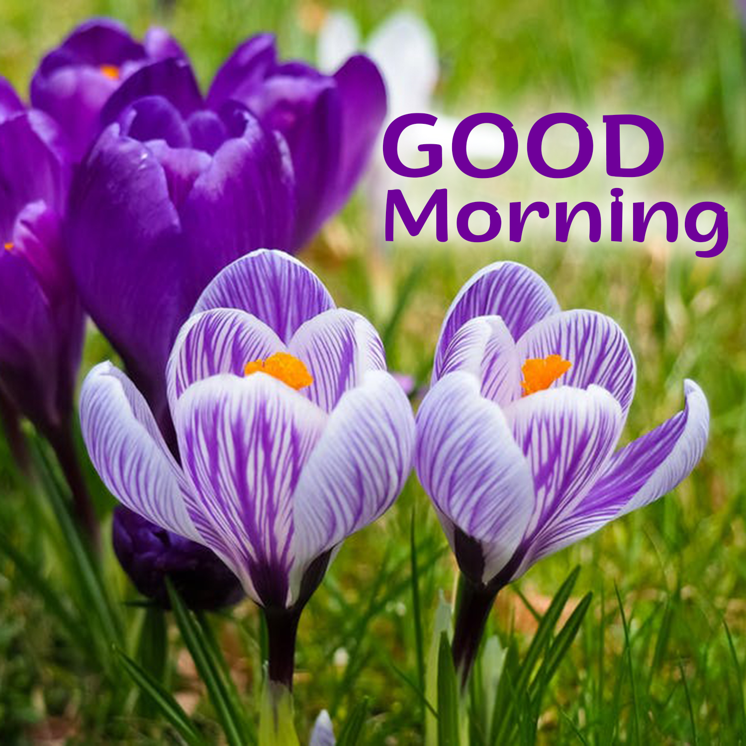 Free And Stunning Good Morning Flowers Images For Everyone Good Morning Images Quotes Wishes Messages Greetings Ecards