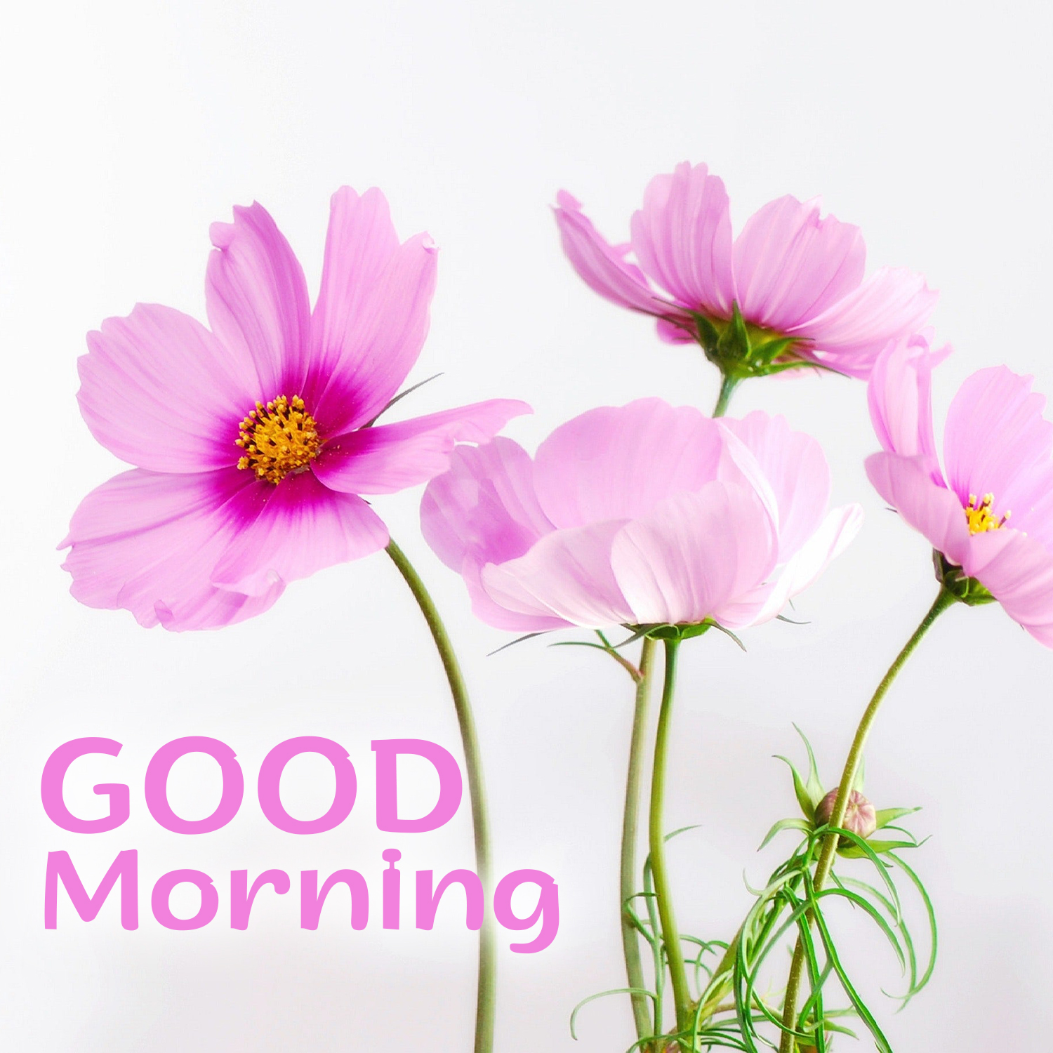 Make People Happy By Sending Lovely Good Morning Flowers Images Good Morning Images Quotes Wishes Messages Greetings Ecards