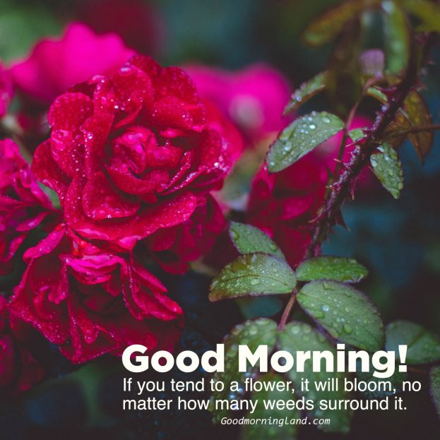 Collection of Good morning flowers with images - Good Morning Images, Quotes, Wishes, Messages, greetings & eCard Images