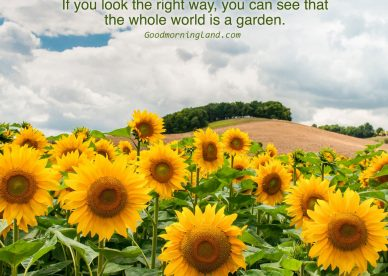 Good Morning with Sunflower images - Good Morning Images, Quotes, Wishes, Messages, greetings & eCard Images
